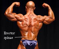 erector-spinae.jpg