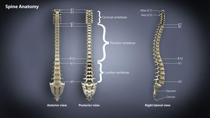 SpineAnatomyAtlas.jpg