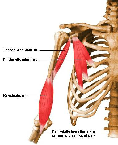 coracobrachialis-muscle.jpg