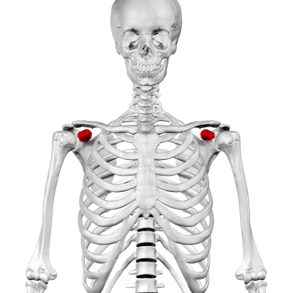 Coracoid_process_of_scapula01.png