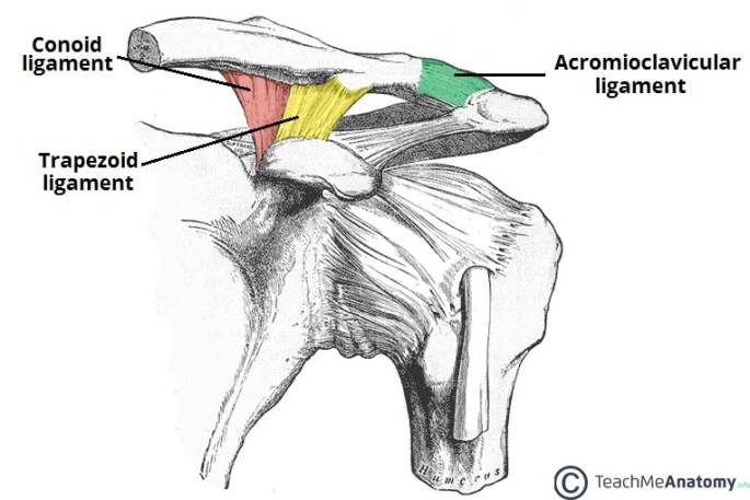 Ligaments-of-the-AC-Joint.jpg