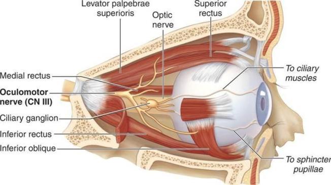 eyemuscles