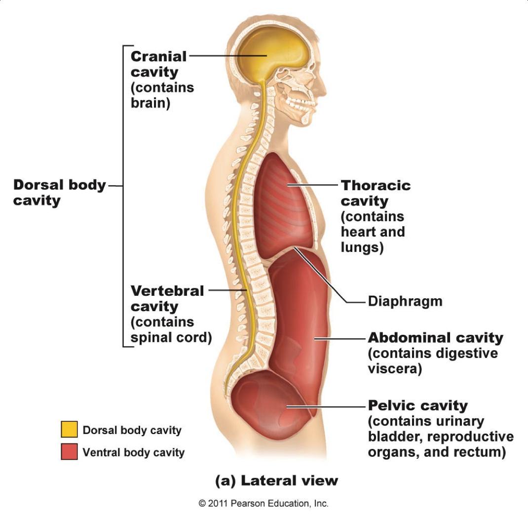your 4 diaphragms mindful mvmnt Human Body Diagram