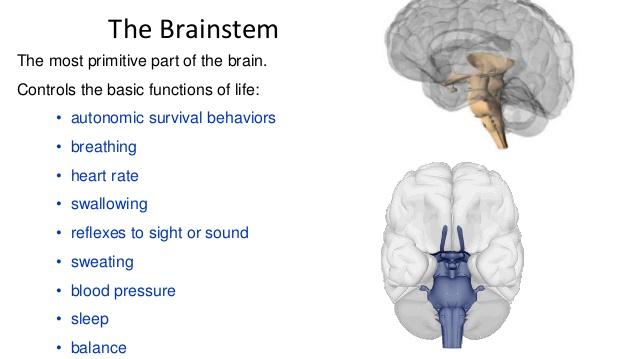 brainstemfunction.jpg