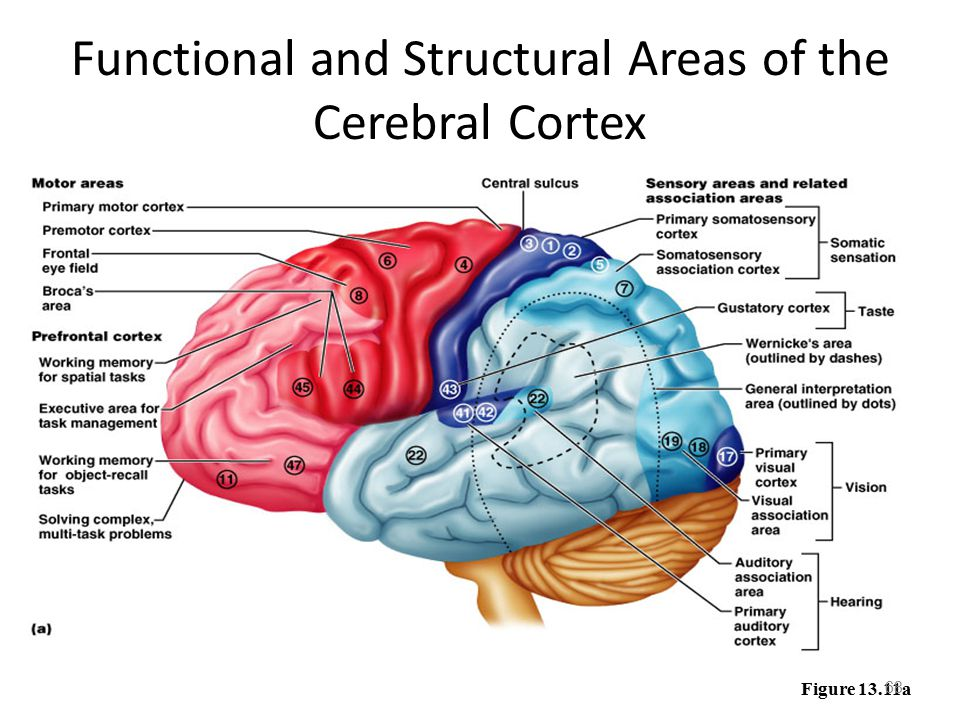 cerebralcortex.jpg