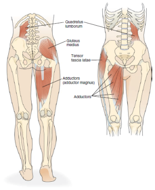 Lateral Lines Part I Legs Hip Anatomy Dysfunction Mindful Mvmnt