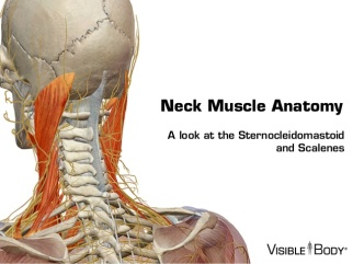 visible-body-sternocleidomastoid-and-the-scalene-muscles-1-638.jpg